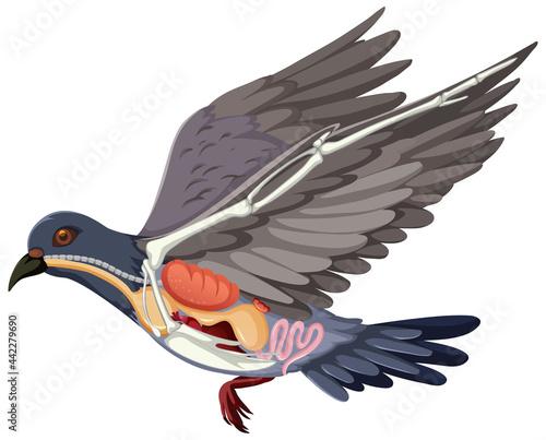 Obraz na plátně Anatomy of pigeon bird isolated on white background