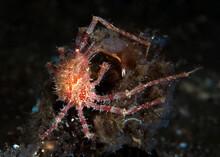 A Rare Crab - Underwater Macro Life Of Tulamben, Bali, Indonesia.