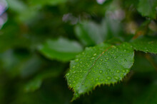 The Green Leaves Of The Rose Bush Are Covered With Raindrops.