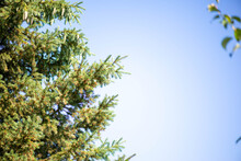 Fragment Of Green Spruce And Blue Sky