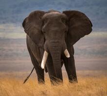 Elephant With One Damaged Ivory Tusk. The African Bush Elephant