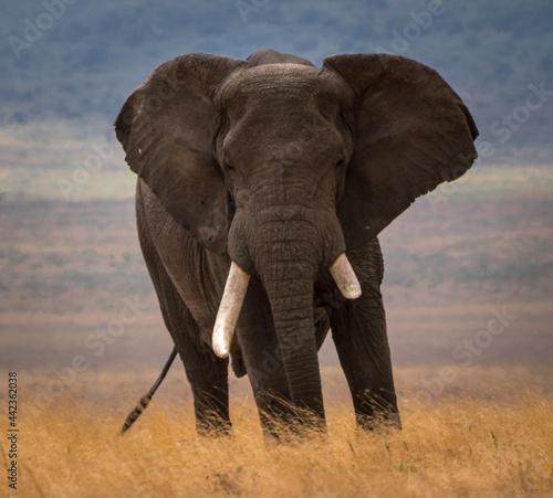 Canvas Print Elephant with one damaged ivory tusk. The African bush elephant