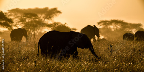Photo African bush elephant is also known as the African savanna elephant