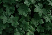Dark Green Geranium Leaves. Natural Background, Texture.