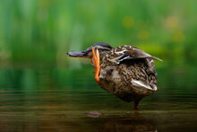 Mallard Or Wild Duck (Anas Platyrhynchos) Female Bathing And Drinking In A Pond In The Netherlands