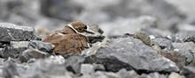 Brütender Flußregenpfeifer (Charadrius Dubius) // Breeding Little Ringed Plover