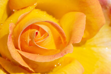 Flower Rose With Yellow Petals Close-up View From Above