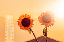 Global Warming. Conceptual Image With Sunflowers And Thermometer Depicting Health Hazard Due To Hot, Mortal Danger, Ecological Hazards, Severe Danger Of Climate Changes For People And Our Planet