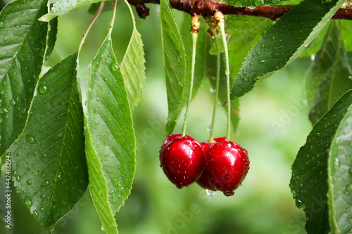 Fotografiet Ripe cherries hanging from a cherry tree branch