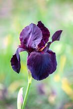 Black And Purple Iris - Flower Close-up