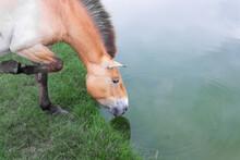 Przewalski's Horse On A Watering Hole By The Pond. Wild Life. Ascania Nova Reserve. Ukraine