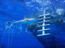Shark Swimming Near Boat Ladder
