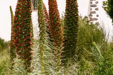 Echium Wildpretii Pertenece A La Familia Boraginaceae