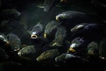 黒い魚の鯉