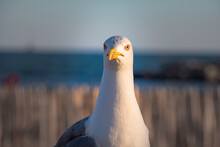 Seagull Stands Guard On The Beach Of South France Beside Sign That Says The Beach Swimming Is Not Supervised