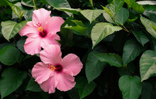Pink Hibiscus With Copy Space