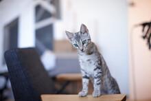 Grey Tabby Kitten With Wide Eyes