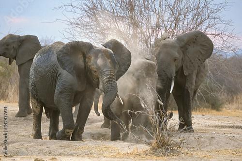 Photo Famille Eléphants d'Afrique Loxodonta africana font de la poussière