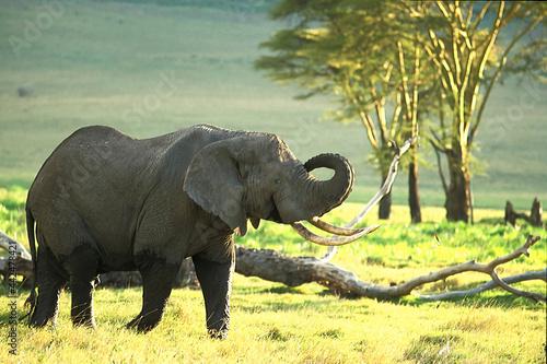 Canvas Print Eléphant Loxodonta africana en Tanzanie Afrique