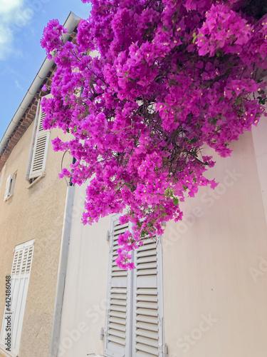 Slika na platnu Bourgainvillier - St Tropez - Var France