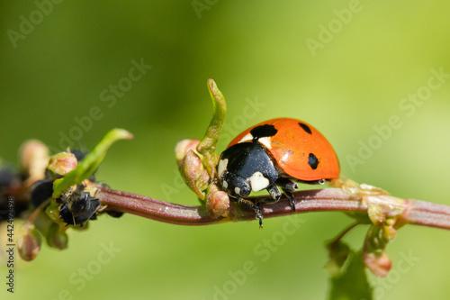 Vászonkép Lady bug in a plant's branch macro photography