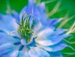 canvas print picture - Love in a mist aka - Nigella damascena. Blue garden flower macro.