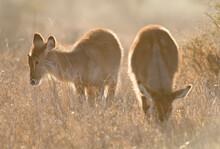 Waterbok, Waterbuck, Kobus Ellipsiprymnus
