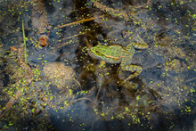 A Green Frog Swims In A Swamp On The Surface Of The Water