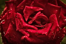 Red Rose After Rain With Drops