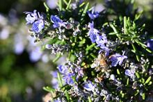 A Honeybee Gathering Pollen From Purple Rosemary Flower
