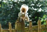 Fototapeta Zwierzęta - wiewiórka