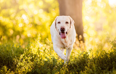 Active, smile and happy labrador yellow dog running in park on sunset summer day