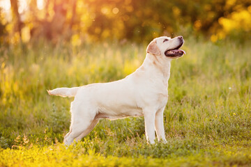 Active, smile and happy labrador yellow dog shows withers in park on sunset summer day