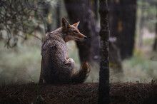 Coyote Sitting On Ground In Forest
