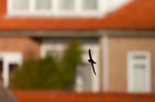 Gierzwaluw, Common Swift, Apus Apus