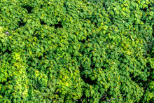 A Bright Green Shrub Forms The Texture. Front View Of The Bush. Bright Green Texture.