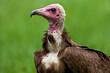 Kapgier, Hooded Vulture, Necrosyrtes monachus