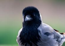 Bonte Kraai, Hooded Crow, Corvus Cornix