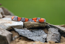 The Gray-banded Kingsnake (Lampropeltis Alterna), Sometimes Referred To As The Alterna Or The Davis Mountain King Snake Lying Among Rocks With A Green Background. Orange-gray Striped Snake.