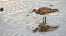 Eastern Curlew Picks Up Small Shell With Rainforest
