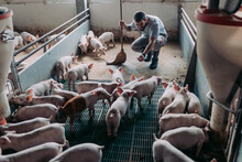 Young Male Worker Doing His Everyday Job On Huge Pig Farm.