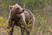 Wild Brown Bear Walking In Natural Habitat