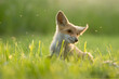 Młody lis na łące odganiający komary po południu