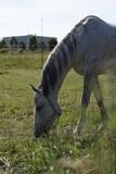 Fototapeta Zwierzęta - Koń biało szary pasący się na łące