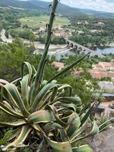 Aloe Vera Plantation Les Jardins Méditerranéens