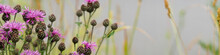 Cirsium Arvense Flowers On Meadow, Close Up View. Shallow Depth Of Field. Banner.