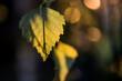 liść brzozy na rozmytym tle w świetle zachodzącego słońca