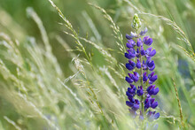 One Large-leaved Lupine Flower And Grass Spikelets In Green Meadow Detail. Lupinus Polyphyllus. Beautiful Blue-purple Bloom Of Poisonous Perennial Plant In Artistic Background. Czech Invasive Species.