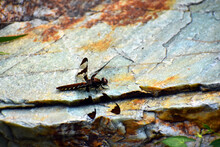 A Female Common Whitetail Dragonfly (Plathemis Lydia) Resting On A Green And Tan Rock.