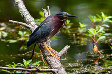 Close Up Of Green Heron Perched On Limb-1514